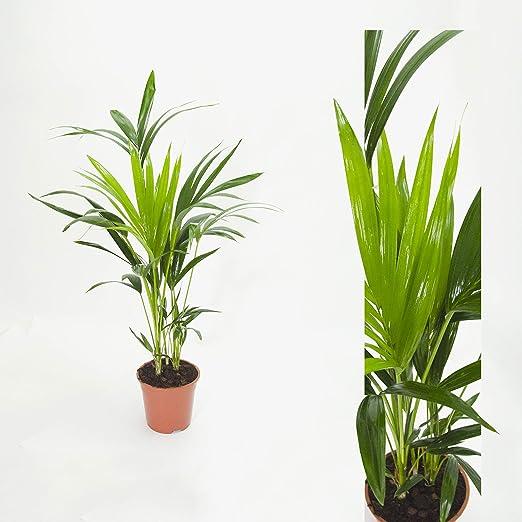 Inter Flower -Howea forsteriana 90cm Delia Palmera Plantas habitación Kentiapalme Habitaciones palma: Amazon.es: Jardín