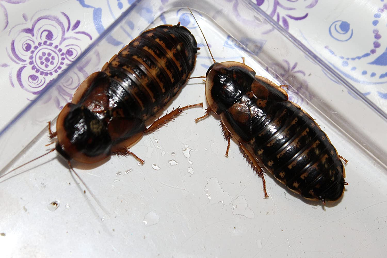Adult Dubia Roaches 35 Females//10 Males FREE SHIPPING