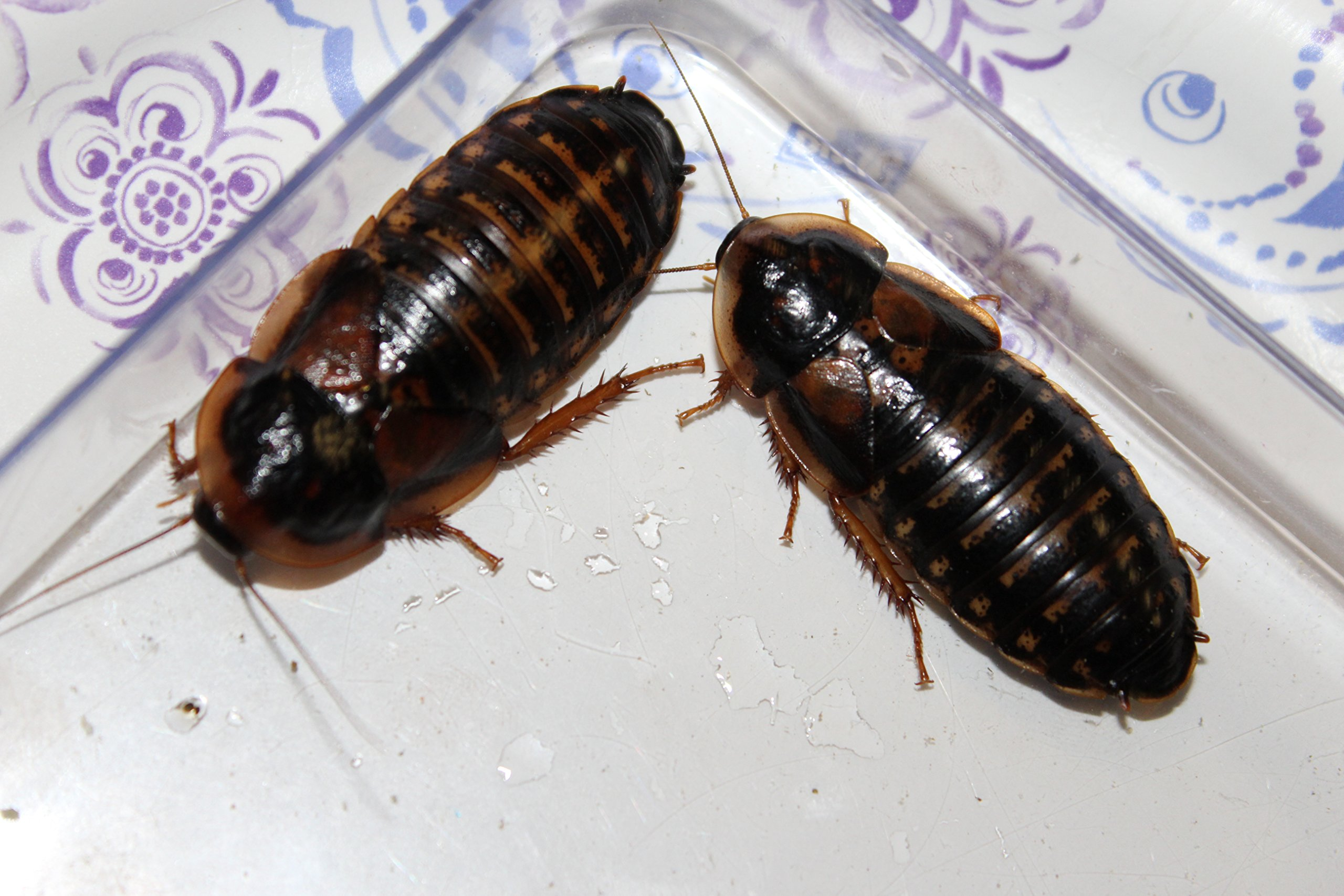Adult Dubia Roaches 40 Females & 20 Males