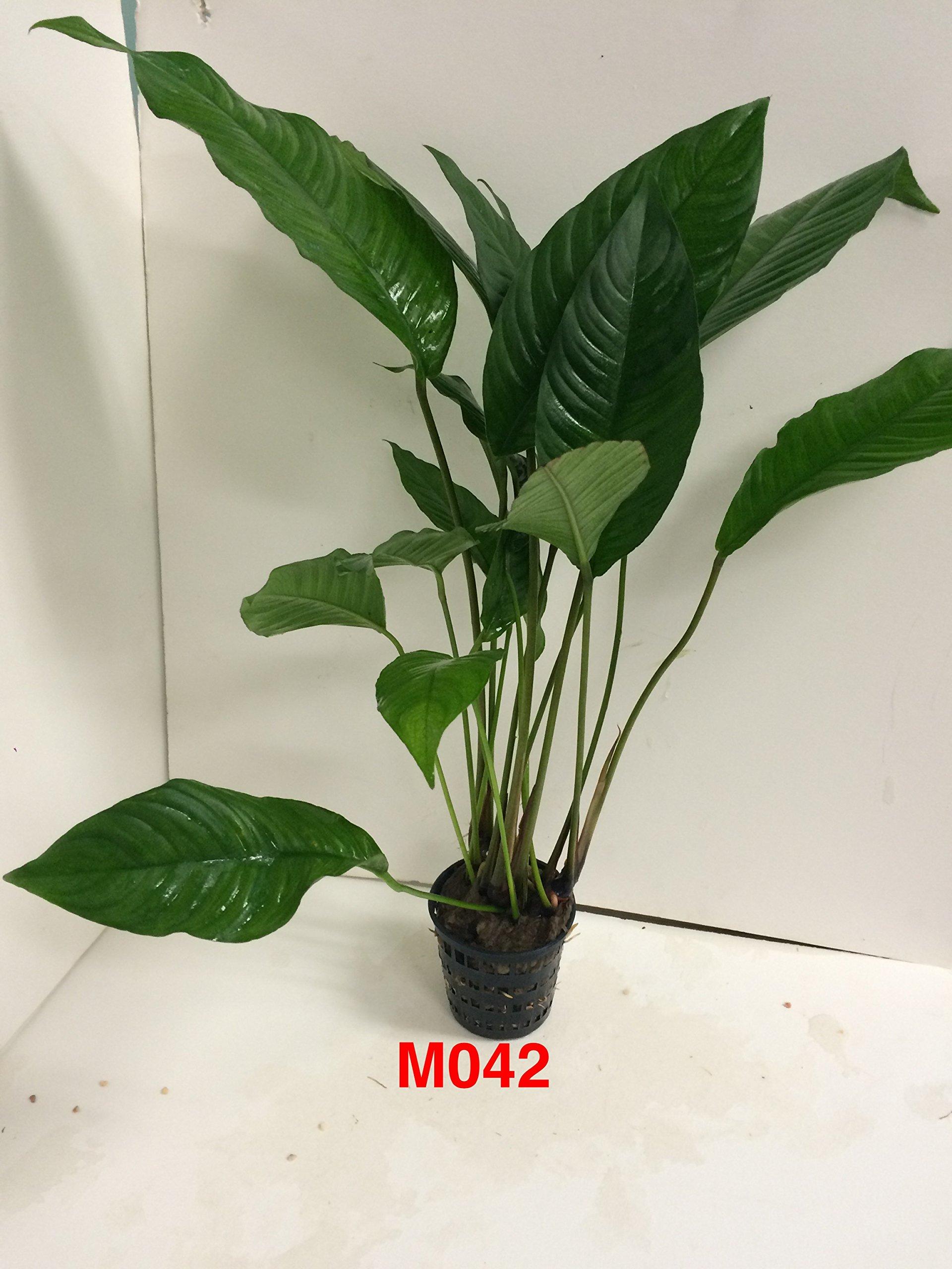 Anubias heterophylla Mother Pot Plant M042 Live Aquatic Plant