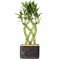 Costa Farms Medium Lucky Bamboo Live Indoor Tabletop Plant in Modern Home Decor 5-Inch