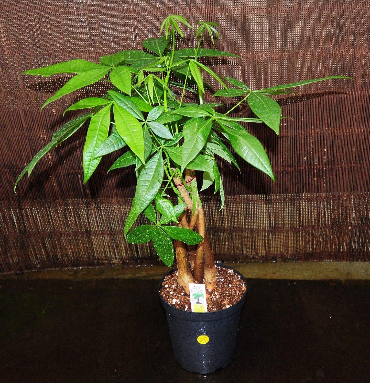 Hot!100//pack Braid pachira big money tree seeds Bonsai Seeds money tree seeds