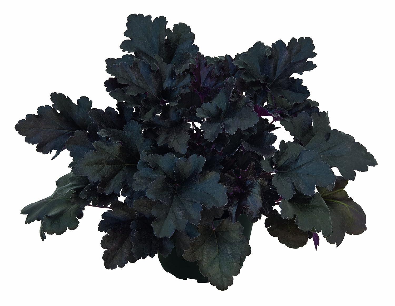 Heuchera - Purpurglöckchen Black Pearl Neuheit 2017 - in Gärtnerqualität von Blumen Eber