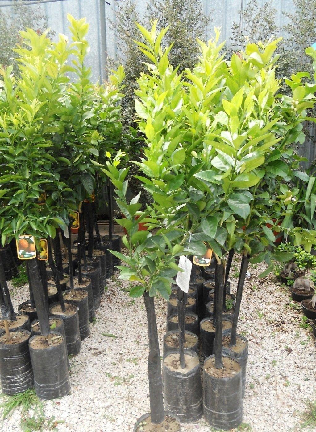 Vendita alberi da giardino on line bel - Vendita alberi da giardino ...