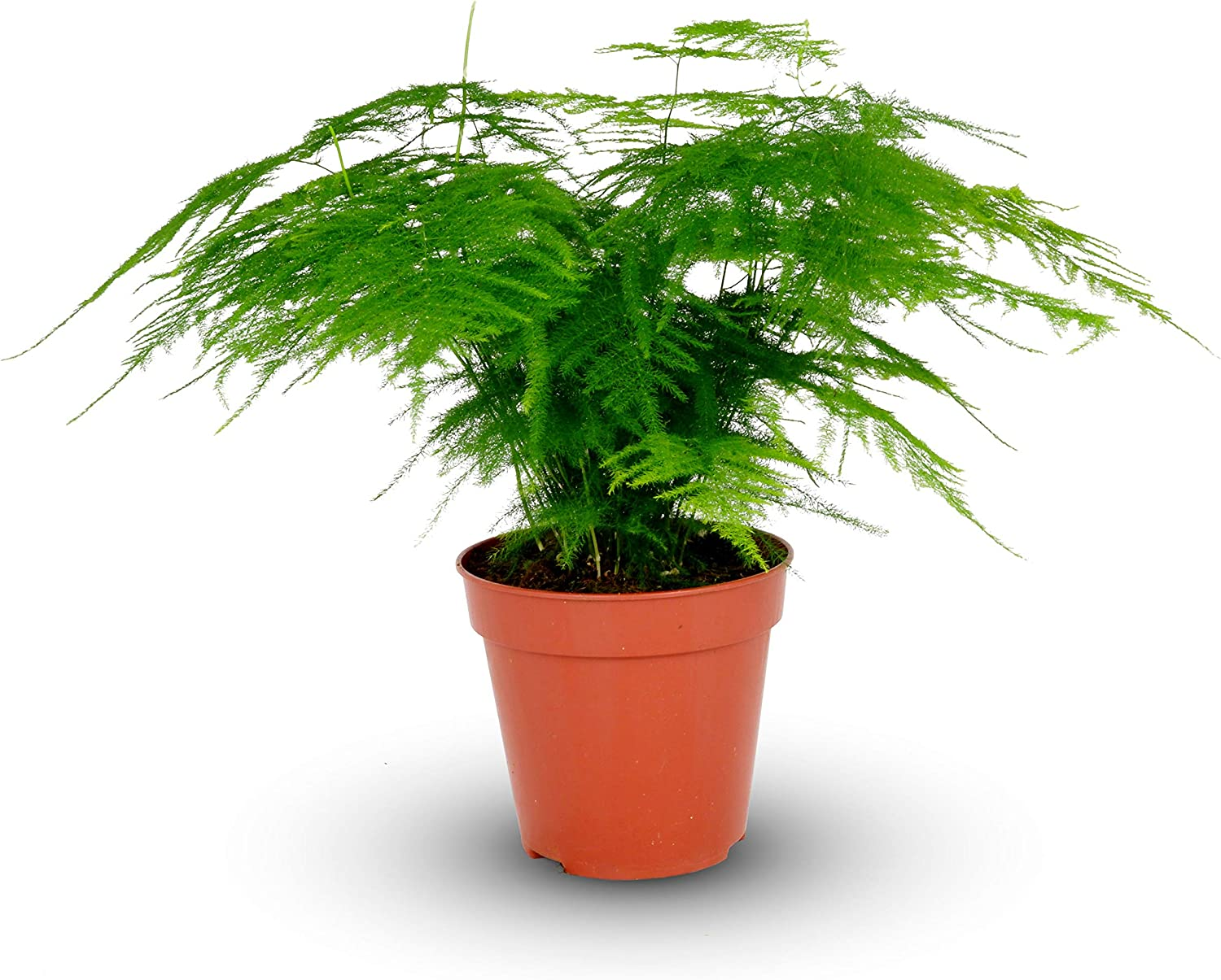 Asparagus Plumosus House Plant In A 12cm Pot Asparagus Fern Plant Amazon Co Uk Garden Outdoors