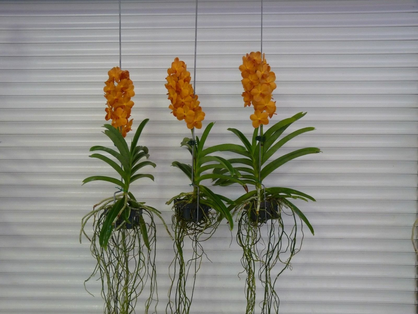 Vanda,'' Ascda. Suksamran Sunlight '', South Florida Grown
