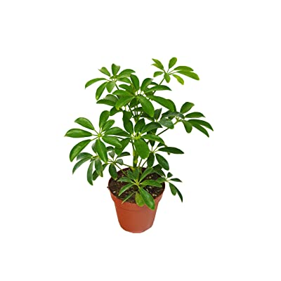 "Live Schefflera Arboricola in 4"" Pot - Dwarf Umbrella Tree - Live Plant - FREE Care Guide: Garden & Outdoor"
