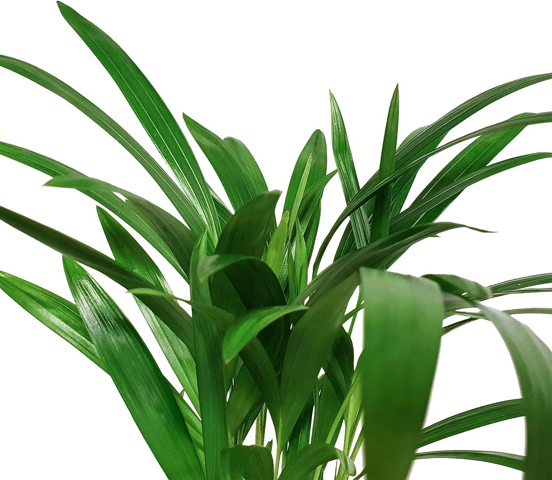 Pot 12 cm pot en C/éramique blanc Entretien facile 2 Plantes vertes| plante de bureau| Hauteur 40 cm Mix de petit palmier| Areca /& chamaedorea Plante dint/érieur en pot