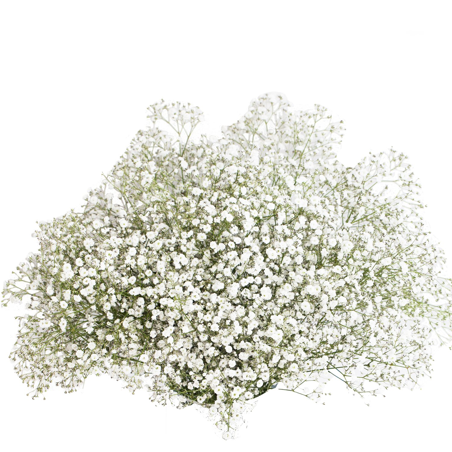 GlobalRose 60 Stems Fresh Fillers -30 Stems of Baby's Breath and 30 Stems of Ruscus- Fresh Flower Delivery