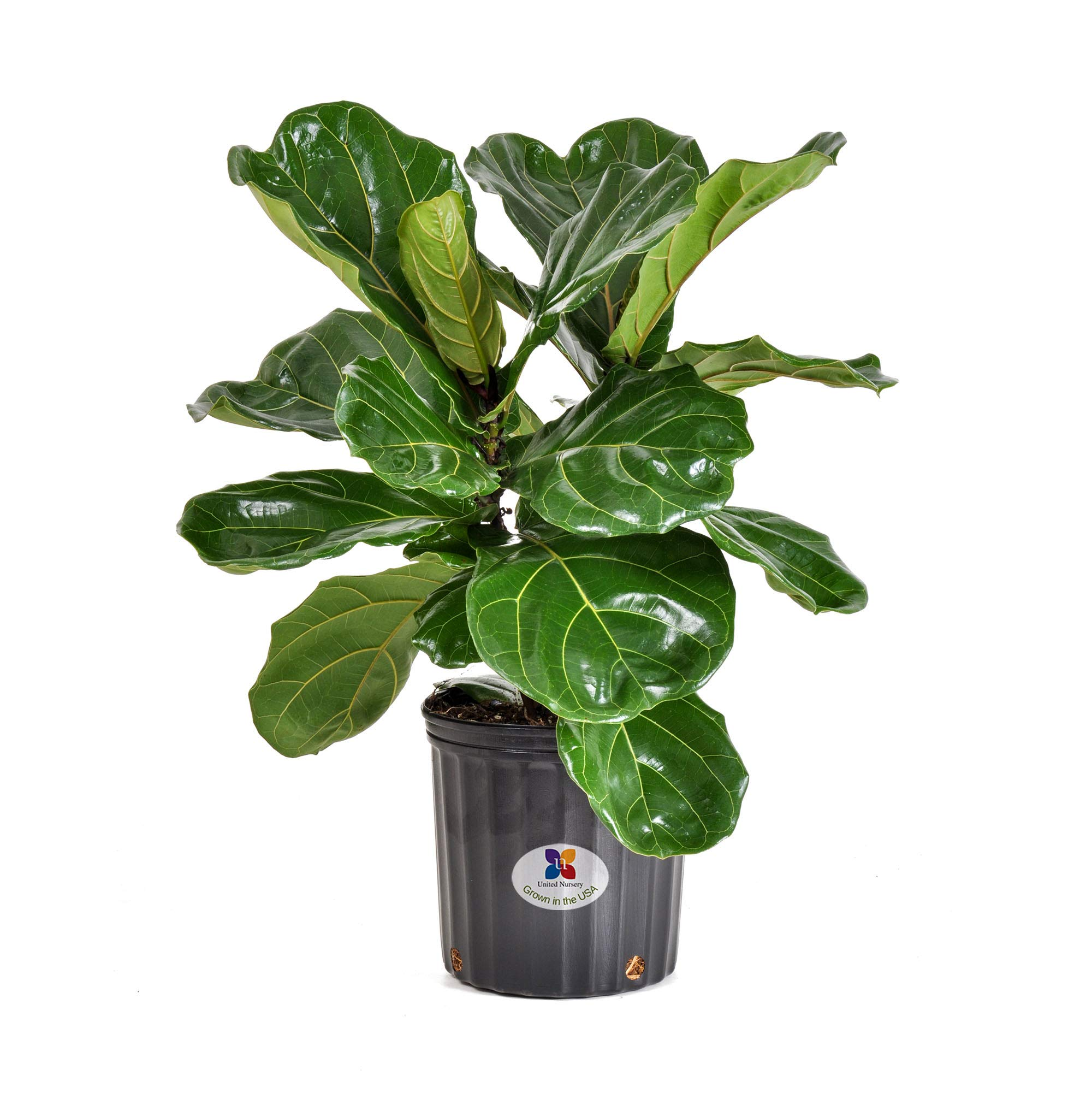 United Nursery Ficus Lyrata Tree Live One Stem Indoor Plant Fiddle-Leaf Fig 32'' Shipping Size Fresh in Grower 9.25'' Pot from Our Florida Farm