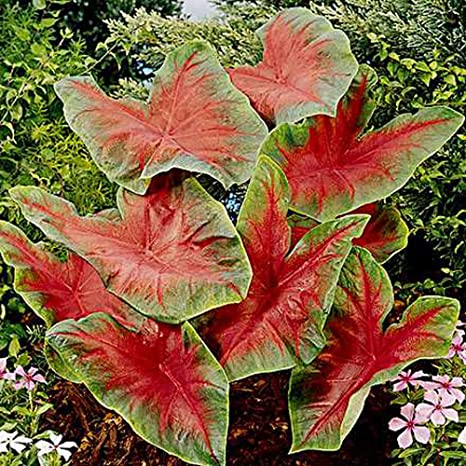 Amazoncom Caladium Bulb Red Pack Of 10 Ten Easy To Grow