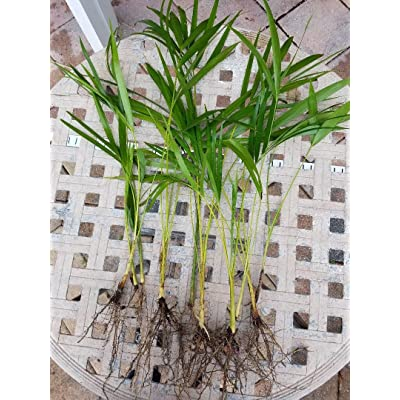 Areca Palm plant Dypsis lutescens Easy to grow!! [PF015] : Orchid Plants : Garden & Outdoor