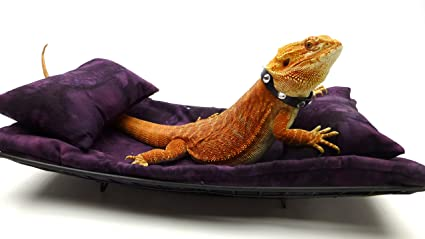 Sale for bearded Adult dragons