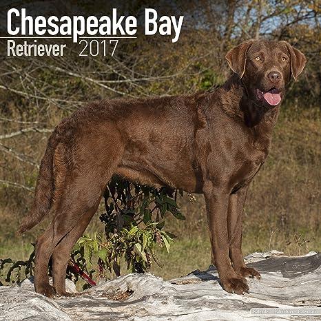 Chesapeake Bay Retriever Calendar 2017 - Dog Breed Calendars - 2016 - 2017  wall calendars - 16 Month by Avonside  MegaCalendars  9781782087489   Amazon.com  ... 92bd28f3cf
