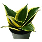 "Snake Plant in Pot (Sansevieria) - 'Black Gold' - Live Plant - FREE Care Guide - 4"" Pot"