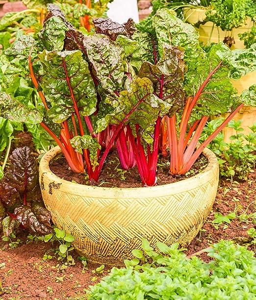 Mini jardín - Mangold (remolacha) para hojas frescas y cortadas - para cultivos de balcón y terraza -: Amazon.es: Jardín