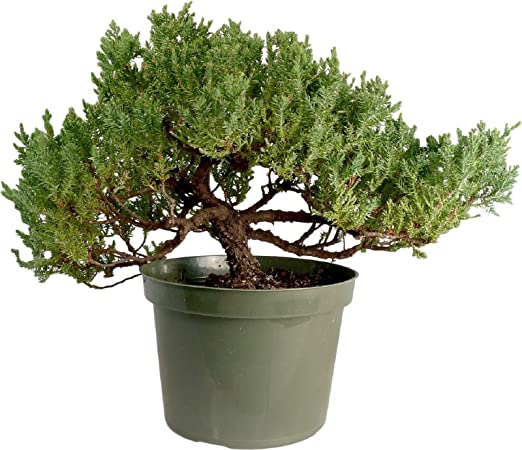 Hot Sale Japanese Juniper Large Pre Bonsai Tree Juniper Procumbens Nana Amazon Com Grocery Gourmet Food
