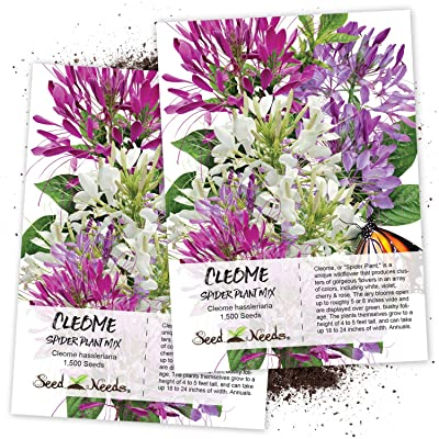 Seed Needs, Cleome Mixture (Cleome hassleriana) Twin Pack of 1,500 Seeds Each: Toys & Games