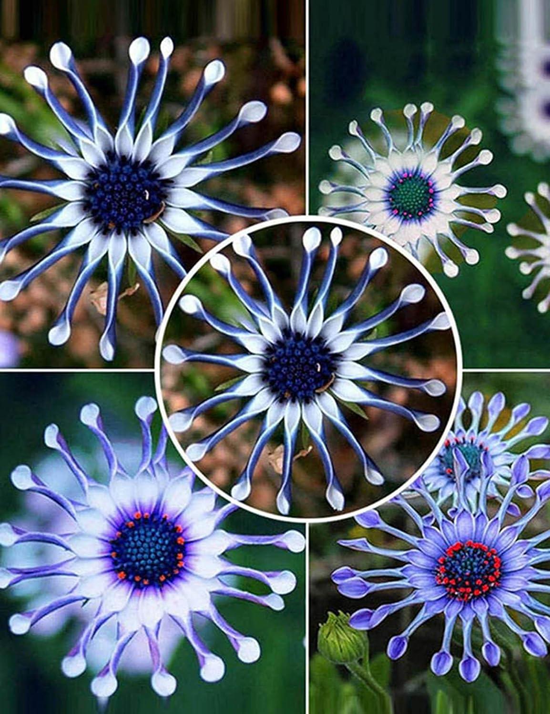 10 Pcs Morado mymotto Niza 10PCS//20pcs//50pcs Adorable Flower Semillas perfumadas Flores africanas de Semillas de Margarita