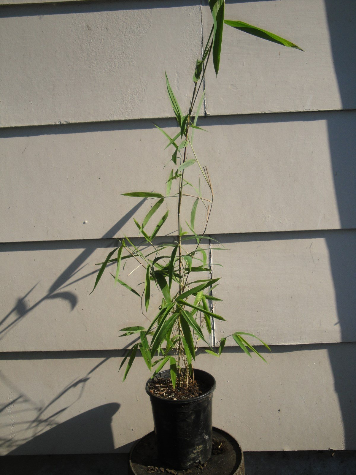 Box of 10 Borinda Macclureana, Live Tibetan Clumping Bamboo, Great Hedge or Specimen. by Maya Gardens, Inc.