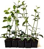 9Greenbox Jasmine Confederate Starter Plants, 4 Pound (Pack of 10)