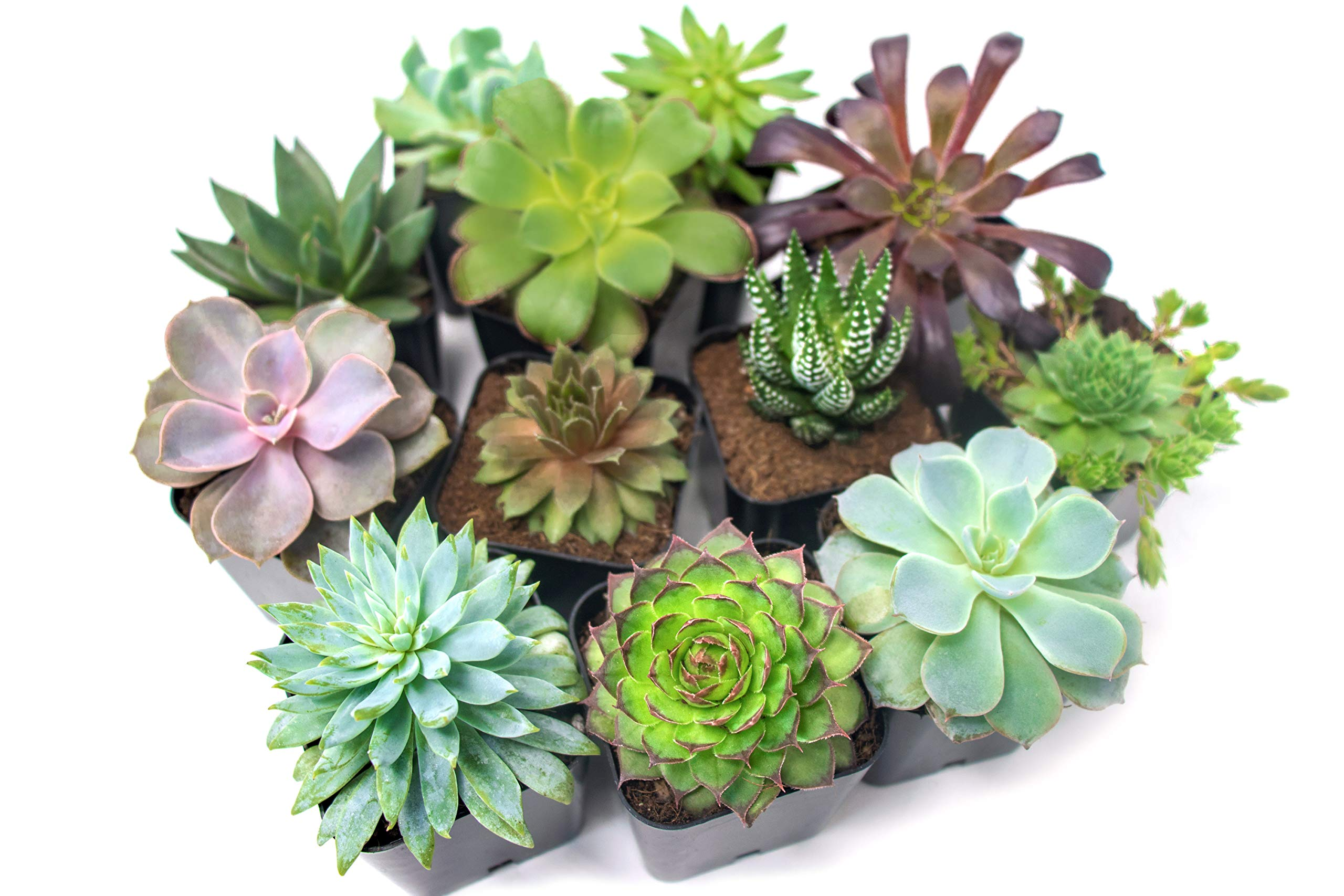 Succulent Plants (20 Pack) Fully Rooted in Planter Pots with Soil | Real Live Potted Succulents / Unique Indoor Cactus Decor by Plants for Pets 9 HAND SELECTED: Every pack of succulents we send is hand-picked. You will receive a unique collection of species that are fully rooted and similar to the product photos. Note that we rotate our nursery stock often, so the exact species we send changes every week. THE EASIEST HOUSE PLANTS: More appealing than artificial plastic or fake faux plants, and care is a cinch. If you think you can't keep houseplants alive, you're wrong; our succulents don't require fertilizer and can be planted in a decorative pot of your choice within seconds. DIY HOME DECOR: The possibilities are only limited by your imagination; display them in a plant holder, a wall mount, a geometric glass vase, or even in a live wreath. Because of their amazingly low care requirements, they can even make the perfect desk centerpiece for your office.