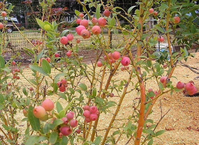 Amazon.com: Pink Lemonade Blueberry ( Vaccinium )   Quart Pot: Garden U0026  Outdoor
