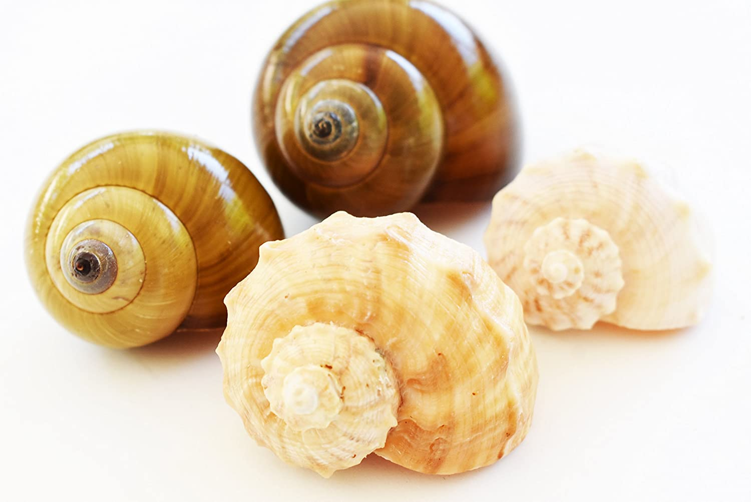 Florida Shells and Gifts Inc. 4 Large Shell Hermit Crab Changing Set - Select Shells - Large 1 1/4-1 3/4+ opening - Land Snail and Conch Shells