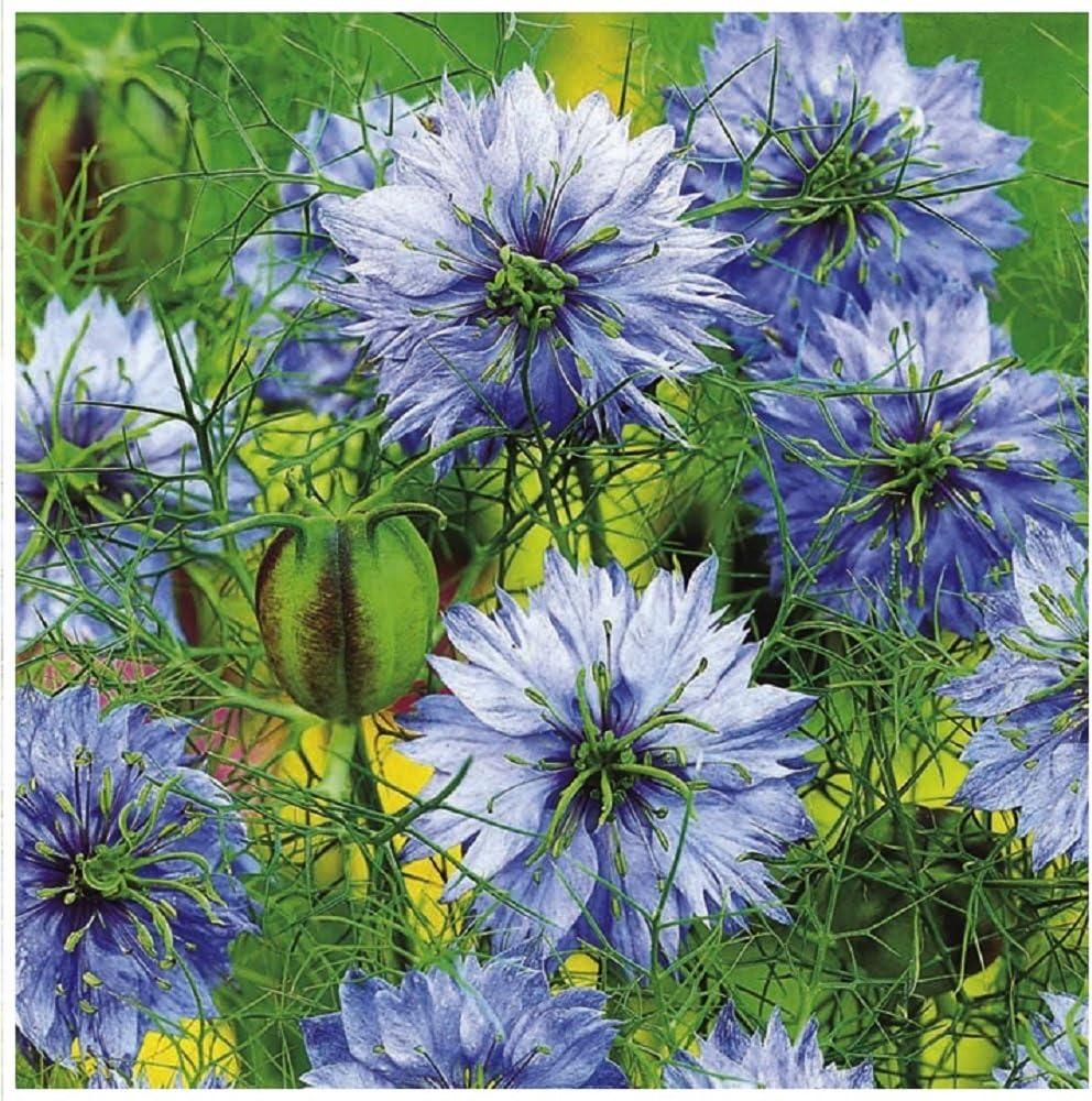 300 graines Fleur-Nigelle Damas-Miss Jekyll