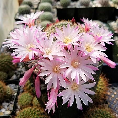Rebutia perplexa Cactus Cacti Succulent Real Live Plant
