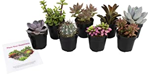 Altman Plants, Live Succulent Plants Fairy Garden Kit (8 Pack) Assorted 2.5