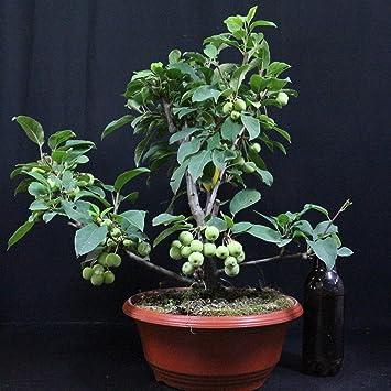 Manzano ornamental, Malus Red Sentinel, bonsái para exterior, 10 años, altura 39