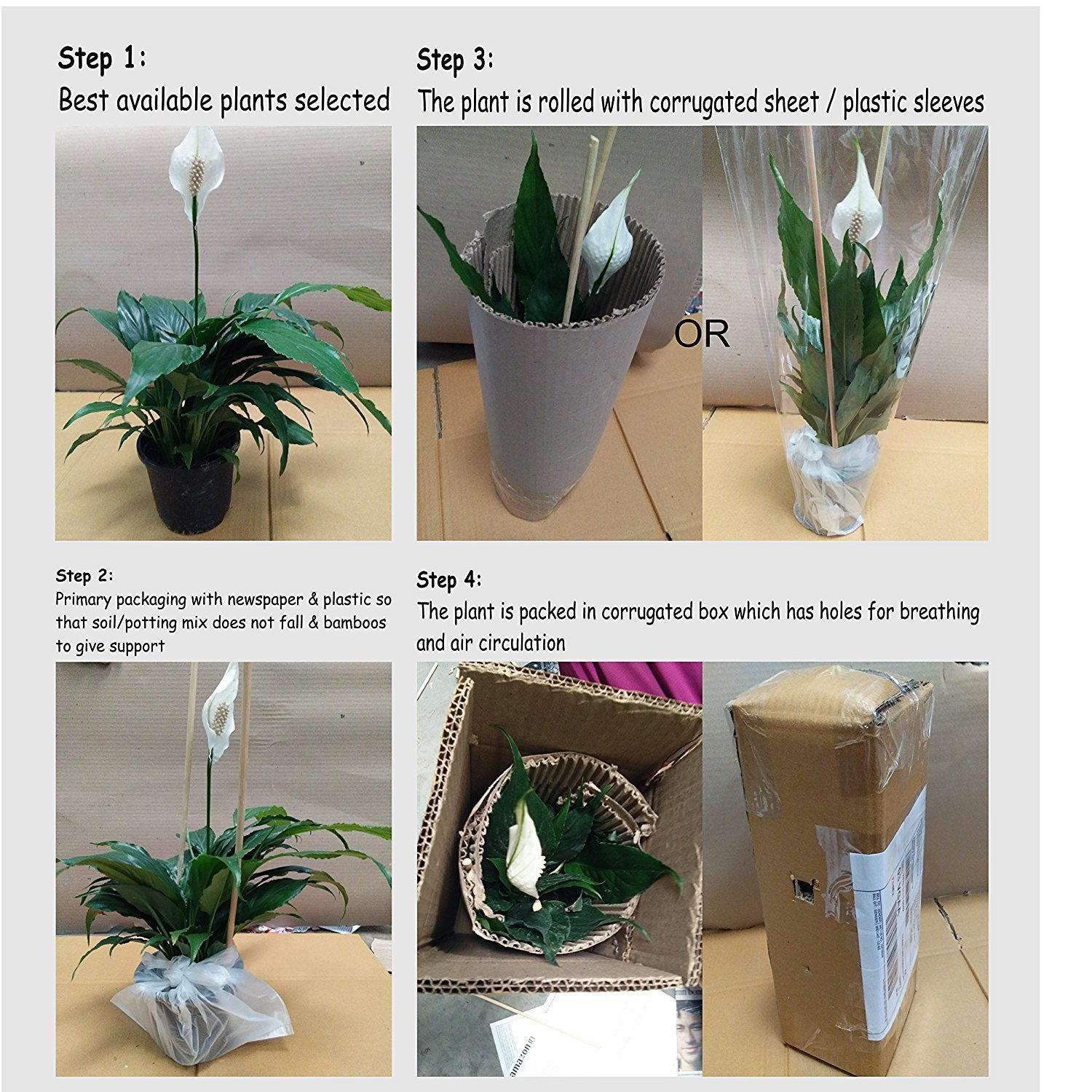 Cappl Peace Lily Plant (Spathiphyllum) ,Green Amazonin Garden & Outdoors