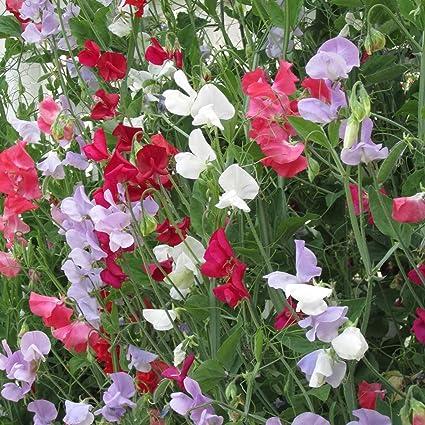 Amazon sweet pea flower garden seeds everlasting 4 oz sweet pea flower garden seeds everlasting 4 oz perennial vine flower gardening seeds mightylinksfo