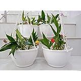 Rochfern Hanging pots/Plants (White)