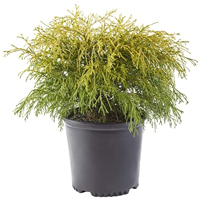 Shrub Gold Mop Cypress 2.25 Gal, Golden : Garden & Outdoor
