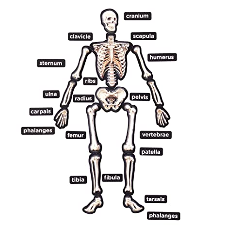 Human Anatomy Mag ic Puzzle Life Size Human together with  on vw polo electric window wiring diagram