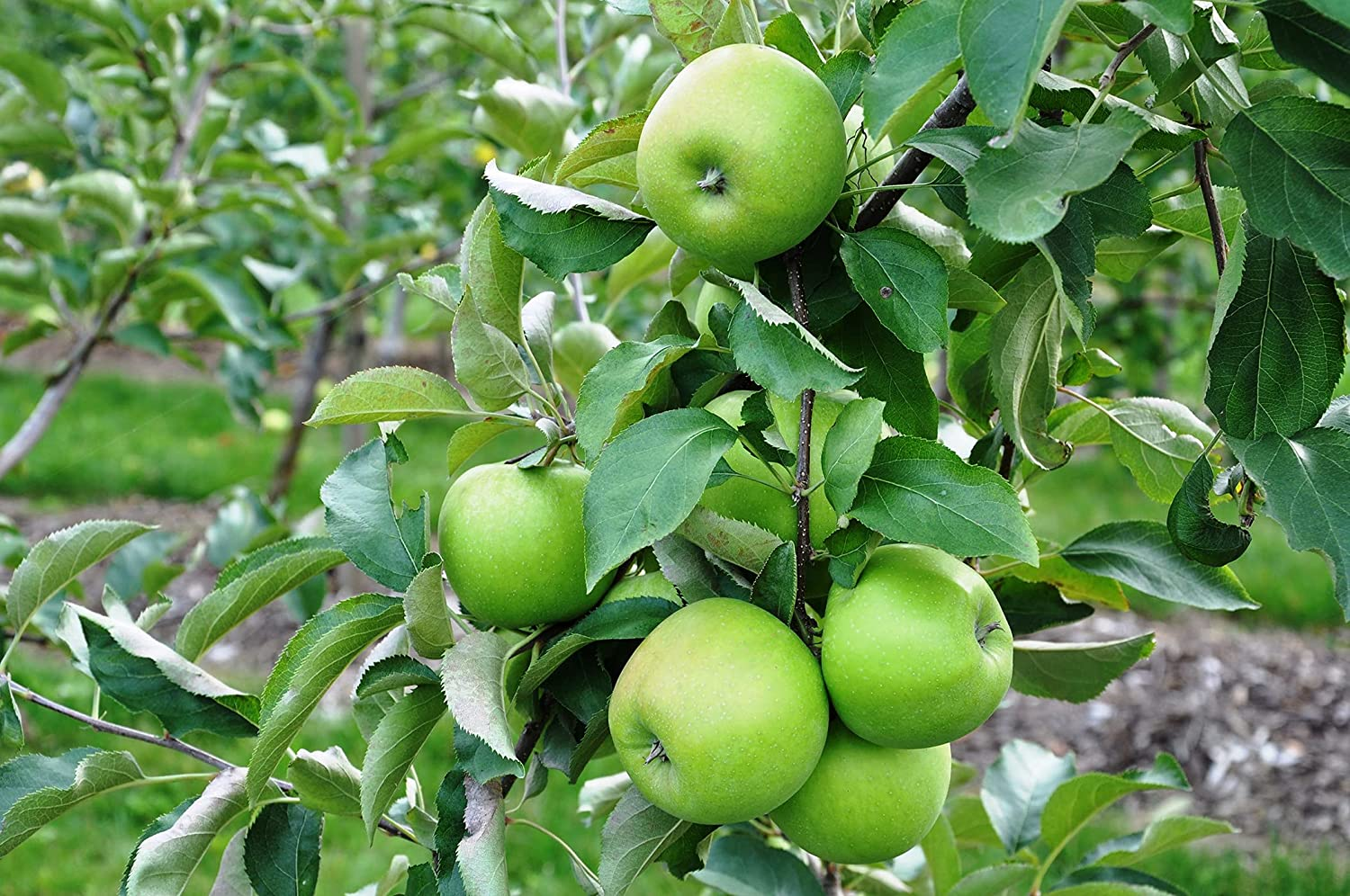 Dwárf Granny Smith Apple Tree-2 Years Old-3-4' Tạll.