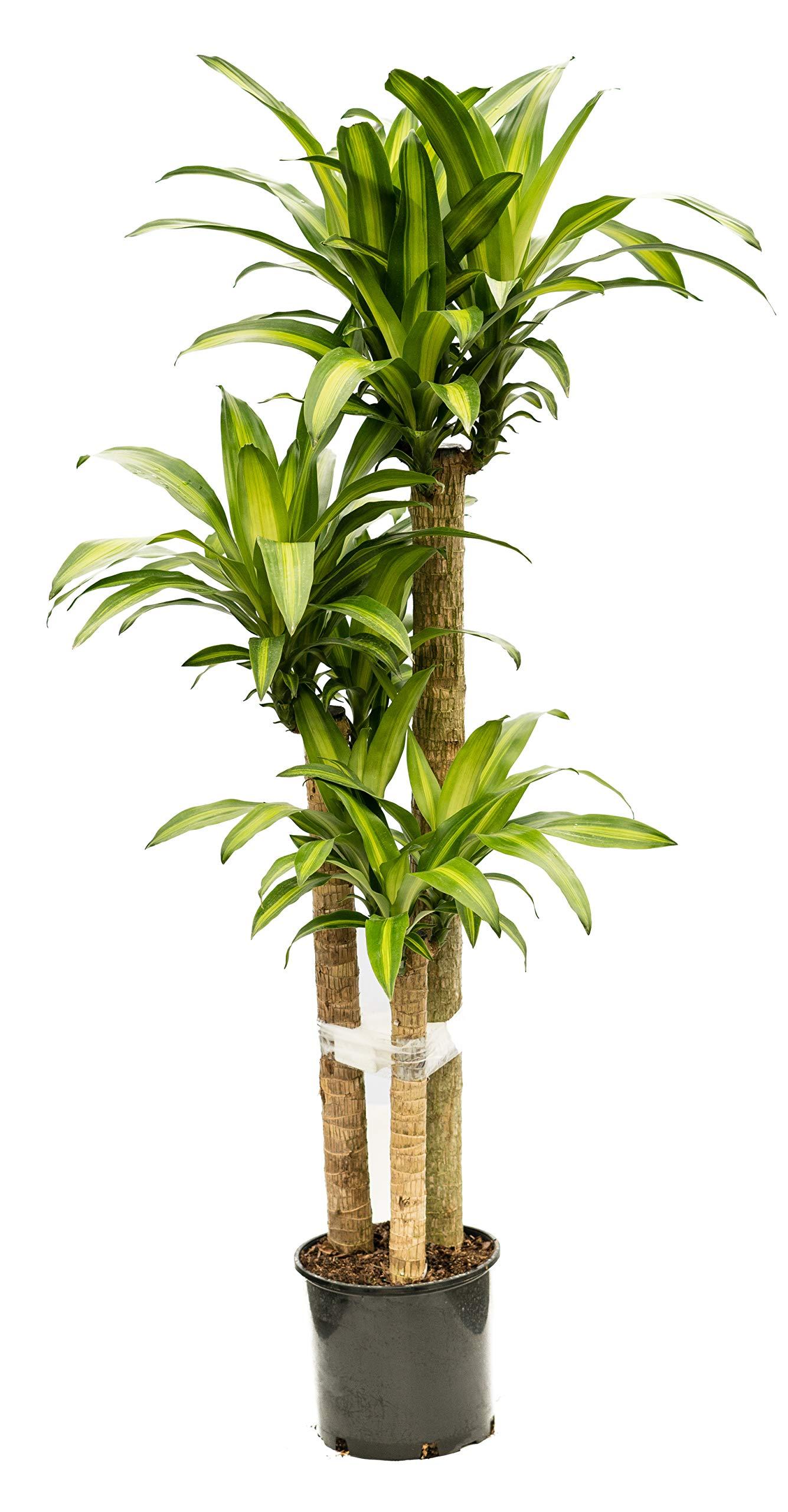 PlantVine Dracaena fragrans 'Massangeana', Corn Plant - Large (4.5-5.5 ft), Cane, Bush - 8-10 Inch Pot (3 Gallon), Live Indoor Plant