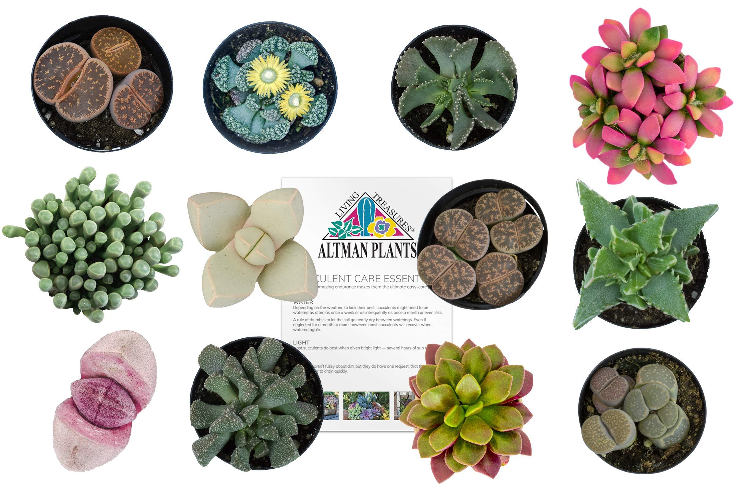 Altman Plants Assorted Live Mini Succulents Mimicry Collection Rock Plants colorful unique gifts, 2.5'', 12 Pack