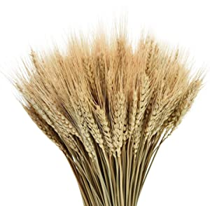 YoleShy Dried Wheat Stalks, 100 Stems 100% Natural Wheat Decor for Home Kitchen Christmas Wedding (15.7 Inches)