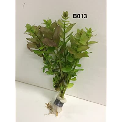 Exotic Live Aquatic Plant for Fresh Water Bacopa amplexicaulis Bundle B013 By JaycoBuy 2 GET 1 FREE : Garden & Outdoor
