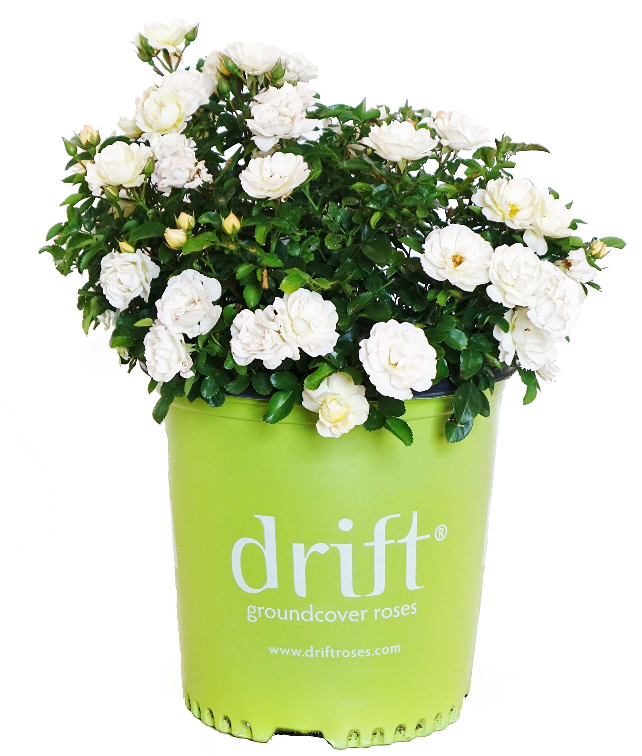 Drift Roses - Rosa Popcorn Drift (Groundcover Rose) Rose, double yellow flowers, #2 - Size Container