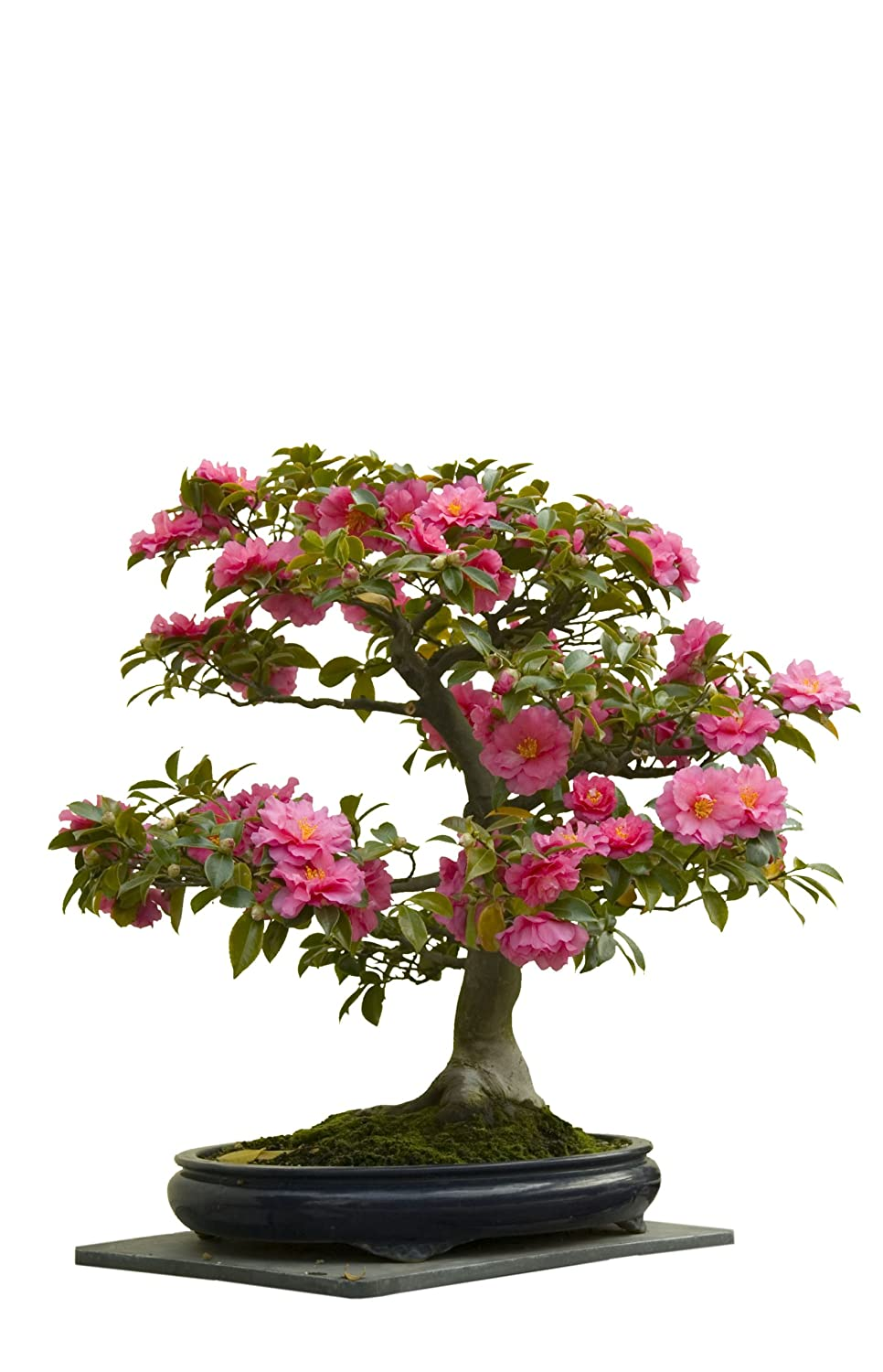 Seedeo Japanese Camellia Camellia Japonica Indoor Bonsai Pink