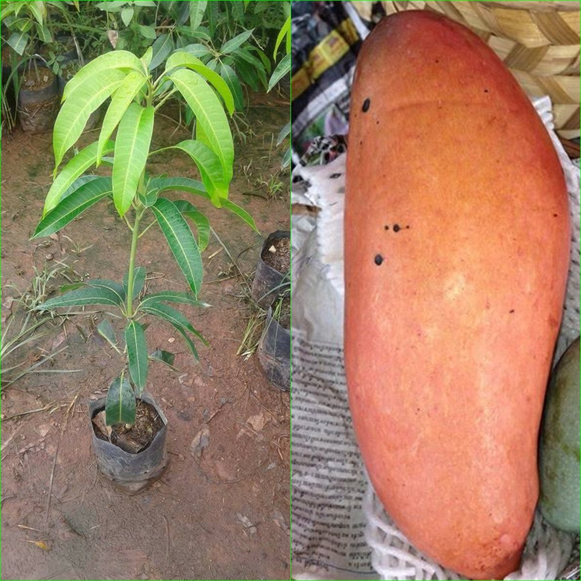 1 GRAFTED Mango Tree plant Nga Chang Daeng 18'' Tall Thai Red Mango Fruit Juicy Direct from Thailand Free Phytosanitary Cert.