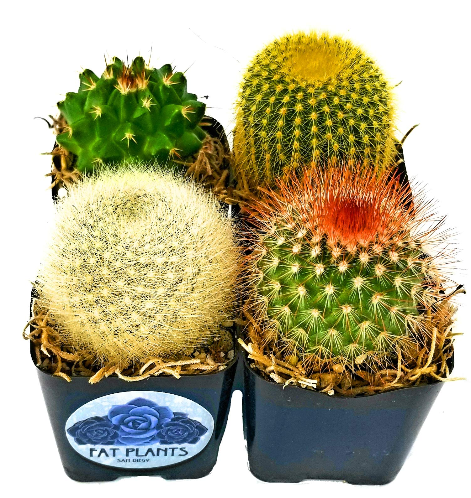 Fat Plants San Diego Mini Cactus Plants in Plastic Planters by Fat Plants San Diego