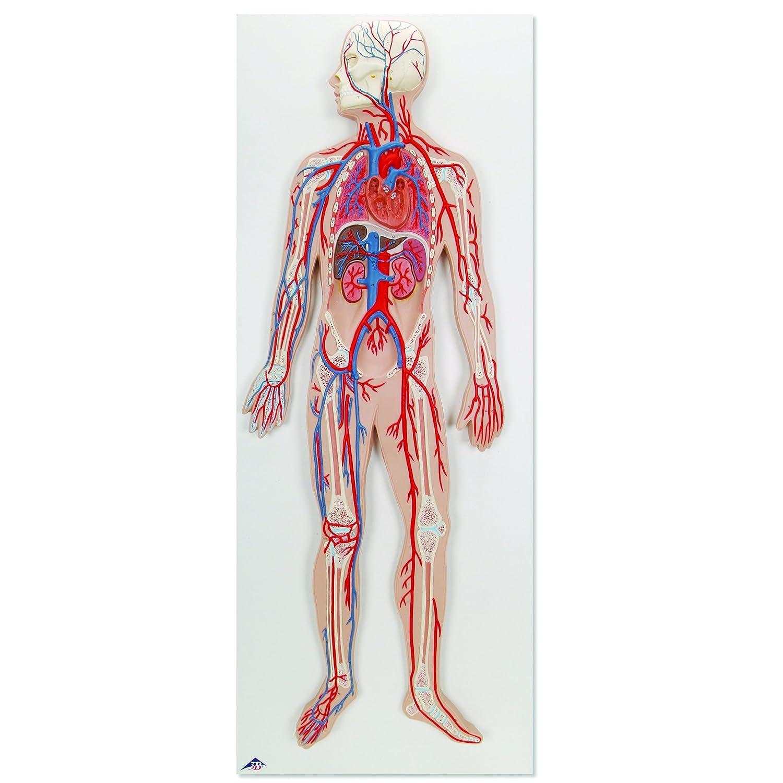 3b Scientific G30 Circulatory System Model 315 X 118 X 24