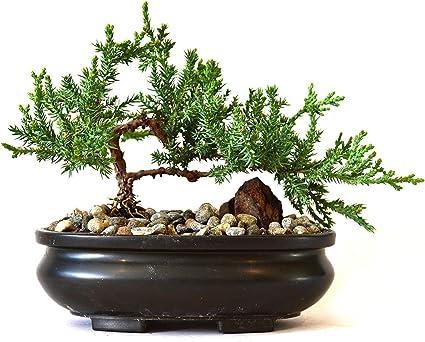 Amazon Com 9greenbox Best Gift Bonsai Juniper Tree 4 Pound Live Indoor Bonsai Plants Grocery Gourmet Food