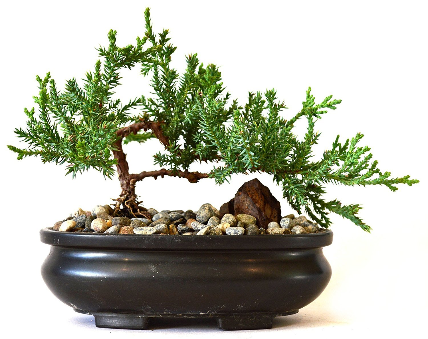 9GreenBox - Juniper Tree Bonsai with Bonsai Pot by 9GreenBox.com