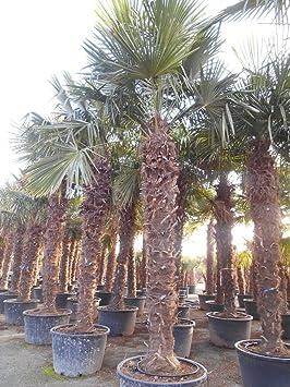 palmier c